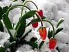 Printemps contrarié (JMVerco) Tags: neige snow neve fleur flower fiore tulipe coth flickrchallengegroup