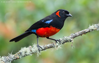 Scarlet-bellied Mountain-Tanager (Anisognathus-igniventris)