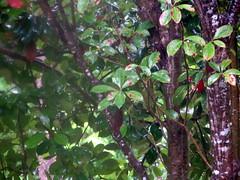 Rain Washed Leaves. (dccradio) Tags: lumberton nc northcarolina robesoncounty leaves foliage tree trees backyard rainy rainyday rain raining woods wooded nature landscape outside outdoors leaf greenery treelimbs sticks