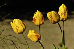The last five ... (Kat-i) Tags: tulpen tulips blumen flowers pflanzen garten garden outside frühling spring gelb yellow nikon1v1 kati katharina 2017