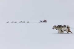 through the snowstorm (Markus Trienke) Tags: dogs pirhuk winter sled snow kulusuk transportation dog arctic expedition inuit misty ice cold kommuneqarfiksermersooq gl canon eos 5d mkiv weather storm eastgreenland greenland