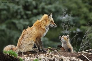Renard roux (Red fox)