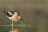 Tiny Morsel (Amy Hudechek Photography) Tags: avocet colorado dinner eating lake nature wildlife migration amyhudechek spring