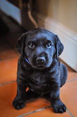 170428-Bluebellwoodsandpuppies (88)-1ps (Mphotograph) Tags: puppies labrador labradorlitter puppylitter photo nikon spring