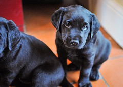 170428-Bluebellwoodsandpuppies (85)-1ps (Mphotograph) Tags: puppies labrador labradorlitter puppylitter photo nikon spring