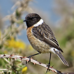 Stonechat at 1800mm (roychurchill (local patch birder)) Tags: bird birds canon coast devon northdevon stonechat sx50 roychurchill