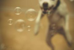 288/365: Bubble fun! (Samutsim) Tags: rescue dog pet animal canon eos dallas jrt texas nick bubbles foster jackrussell dfw adopt jackrussellterrier soapbubbles humanesociety yabbadabbadoo project365 dogandkittycity dallascountyhumanesociety dogandsoapbubbles