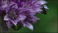 Rain drop + fly (Per Jensen) Tags: green fly purple flue raindrop purlg 2013 vanddrbe