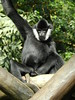 King of the Island (Amber.Brooks-Mohler) Tags: minnesota gibbon minnesotazoo tropicstrail malegibbon