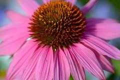 Echinacea (love_child_kyoto) Tags: masterphotos artisticflowers takenwithlove mindigtopponalwaysontop  takenwithhardwork lovelynewflickr
