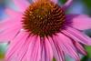 Echinacea:紫馬簾菊 (love_child_kyoto) Tags: masterphotos artisticflowers takenwithlove mindigtopponalwaysontop マスター写真 takenwithhardwork lovelynewflickr