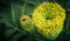 DSC_7510.jpg (Qasim Massey) Tags: flowers green yellow flickr published whitepixels