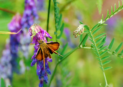 DSC_0123_ (kalakeli) Tags: butterflies july juli münsterland schmetterlinge handorf 2013 schmetterlings truppenübungsgeländedorbaum
