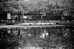 B&W photo of cherry trees and row boats reflecting off the water of the Takada Castle Moat (Moonie's World) Tags: longexposure trees plant flower reflection tourism nature water japan season boats outdoors spring pond flora quiet peaceful nobody symmetry illuminated 桜 cherryblossom 日本 flowering sakura moat japaneseculture touristattraction hanami temporal springtime blooming blackandwhitephotography rm tranquilscene eastasia 花見 cherryblossomviewing japanesecastle traveldestinations beautyinnature alamy 新潟県 niigataprefecture japanesetradition stockcategories 高田城 上越市 高田公園 unrecognizableperson incidentalpeople takadacastle joetsucity lumixgvario35100f28 jōetsushi takadakoencherryblossomfestival takadacastleparkcherryblossomviewingfestival boatingarena
