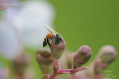 ~~ Morning duty~~ (Piyush Tarale) Tags: macro bee canon100mmf28macro beeandflower 100mmmacro beecollectingnectar insearchofnirvana piyushtarale piyushtaralephotography