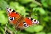 Beautiful butterfly.jpg (juliereynoldsphotography) Tags: nature butterfly garden wildlife juliereynolds