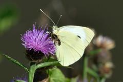 Piride du chou et l'abeille (Christian Mens) Tags: macro fleur papillon abeille butiner butinage insecte feuille chardon pieridae pirideduchou poulelescharmeaux