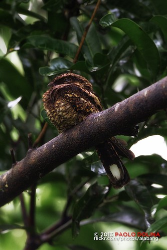 Philippine Nightjar (Caprimulgus manillensis)