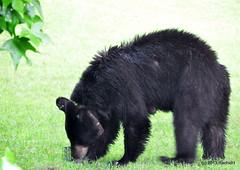 DSC_0078 (rachidH) Tags: bear nature wildlife nj sparta blackbear ours wildanimals rachidh