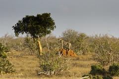 TASAVO EAST - CHEETAH (mark_rutley) Tags: africa cat kenya wildlife safari bigcat cheetah tsavoeast tsavowest