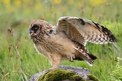 Brandugla (Asio flammeus) - Short-eared Owl (Elma_Ben) Tags: green bird stone iceland moss wing ísland yelloweyes talons shortearedowl asioflammeus ugla icelandicnature brandugla fuglar86gmailcom