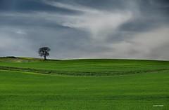 El roble (anpegom) Tags: verde nubes paramo castillayleón roble contrates velilla torozos tierradelabor