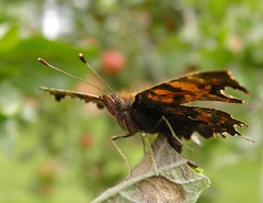 Comma (rockwolf) Tags: butterfly insect shropshire feeding lepidoptera explore apples comma polygoniacalbum explored rockwolf uptonmagna