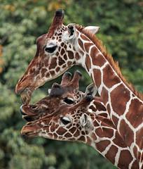 netgiraffe artis IMG_0221 (j.a.kok) Tags: giraffe artiszoo giraffacamelopardalis netgiraffe