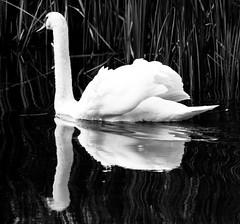 Black & White Swan (chrism00se) Tags: autumn wild england blackandwhite bw white reflection art water animals contrast swim canon river countryside blackwhite swan wildlife highcontrast swans photograph float peacefull canoncamera canonphotography