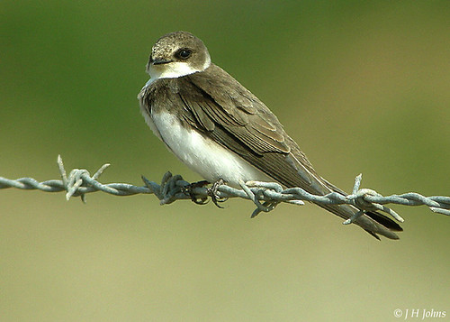 "Sand Martin (J H Johns) • <a style=""font-size:0.8em;"" href=""https://www.flickr.com/photos/30837261@N07/10723054684/"" target=""_blank"">View on Flickr</a>"