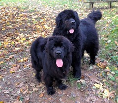 Ben and Daisy (Bustle & Sew) Tags: ben daisy newfies newfoundlanddogs