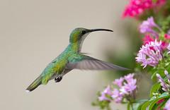 A Little Sweetness (Canter Photography) Tags: bird nature nikon hummingbird wildlife 600mmf4 14teleconverter antilleanmango anthracothoraxdominicus nikond3s nectereater