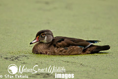 Wood Duck male non-breeding plumage Tekiela IE6S4226 (Stan Tekiela's Nature Smart Wildlife Images) Tags: wild copyright usa male nature water minnesota birds animals geese swan critter wildlife unitedstatesofamerica birding feathers ducks diving images stockphotos waterfowl professionalphotographer avian aythya digitalimages stockimages naturalist anatidae nonbreeding stockimage eclipseplumage dabbling alternateplumage woodduckaixsponsa stantekiela allrightsreservered naturesmartwildlifewordsandimages