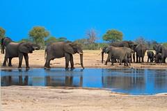 Elephants drinking @ Dusk (paulafrenchp) Tags: hwange