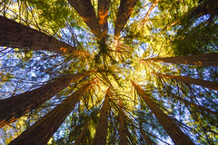 Circle of Friends (DirtyBootPrints) Tags: life road trip trees sky history nature beauty up circle skyscape landscape nikon remember quiet peace watch grow adventure story huge tall redwoods nikkor gaze learn height lay