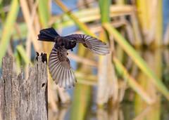 Willy Wagtail-6969 (rawshorty) Tags: birds australia canberra act jerrabomberrawetlands rawshorty