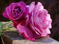 Beautiful Shades of Pink Roses (trins) Tags: pink roses morninglight 8am blooming pinkflowers pinkroses morningshot shadesofpink beautifulroses beautifulpinkflowers beautifulpinkroses shadesofpinkroses bloomingpinkroses rosesonarail rosesonawoodrail beautifulshadesofpink