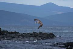 "_DSC6514  ""Brown Pelican"" ""Pelicano Cafe""  and the ""Galapagos Fernandina Punta Espinoza area shoreline""     4.2k (ChanHawkins) Tags: area punta april 12 fernandina fri espinoza ""brown pm"" cafe"" pelican"" ""galapagos shoreline"" ""pelicano"