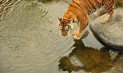 Reflex(cc)in (Nina in Technicolor) Tags: fauna agua tiger reflejo felino tigre
