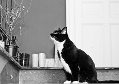 stretch/marie (Das halbrunde Zimmer) Tags: cats home monochrome canon 50mm feline hunting schwarzweiss katzen