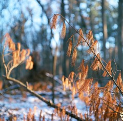 Needles of a fallen pine (Citizen 4474) Tags: winter snow tree 6x6 mamiya film pine wisconsin mediumformat square dead woods needles eauclaire c33 lowescreek
