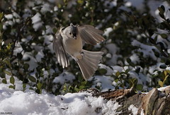 Incoming (Diane Marshman) Tags: winter white snow black green bird nature leaves birds season flying back wings bush eyes breast body head pennsylvania wildlife chest tail small gray flight beak feathers tan crest belly pa upper evergreen underneath titmouse tufted shrub northeast northeastern boxwood sides in