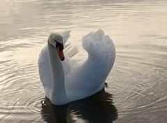 Knoppsvane (Kjell-Arne) Tags: birds norway swan stord fitjar
