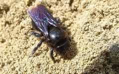 Xylocopa iris - 23 VII 2011 (el.gritche) Tags: hymenoptera apidae xylocopinae xylocopa iris xylocopairis france 40 garden bee abeille
