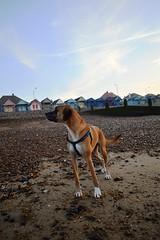 The boy on the beach (aims121) Tags: boy sea dog motion beach dogs stone bay movement sand nikon stones hut bark seven beachhut doggy doggies doggie herne barking hernebay doggys barks boxador