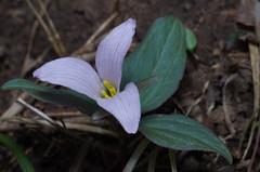 """Trillium nivale - Snow Trillium - """"pink form?"""" (Mike Graziano) Tags: ohio flower trillium wildflower nivale snowtrillium trilliumnivale"""