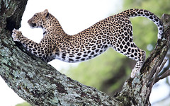Leopard Stretch (MyKeyC) Tags: africa tanzania stretch leopard todd specanimal leopardintree leopardstretch aaacolevanscd