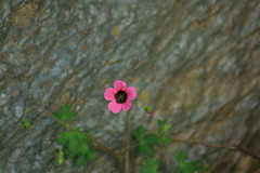 little pink flower (prasanth_p_jose) Tags: campus iit mandi lowerhimalayas beautifulpictures campuswildlife beautifulcampus kamand shivalikranges kamandcampus iitmandikamandcampus amazingcampuspictures wildlifeiitmandikamandcampus iitmandicampus wonderfulcampuslandscape floraandfaunaiitmandi