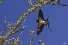 Hirondelle rustique (SBaschung) Tags: bird barnswallow bourgogne franchecomté hirundorustica oiseaux hirondellerustique passériformes hirundinidés 2125397071lpo