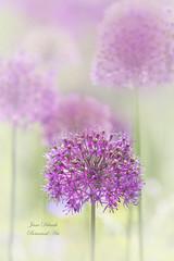 Allium (Jane Dibnah Botanical Art) Tags:
